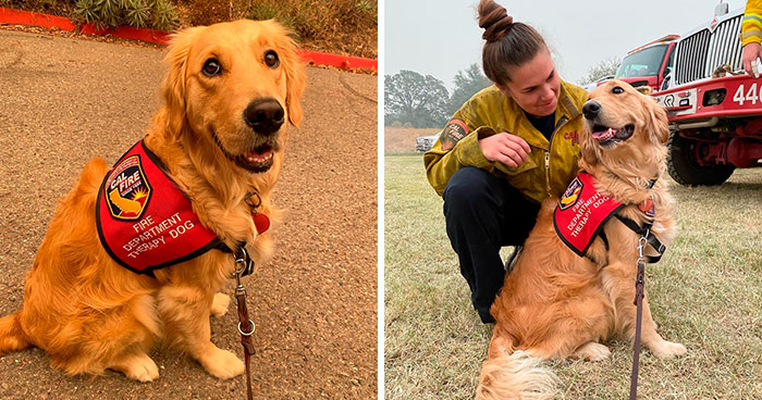 Kerith The Golden Retriever Is Visiting Areas Affected By Fires In California To Comfort Overworked Firefighters