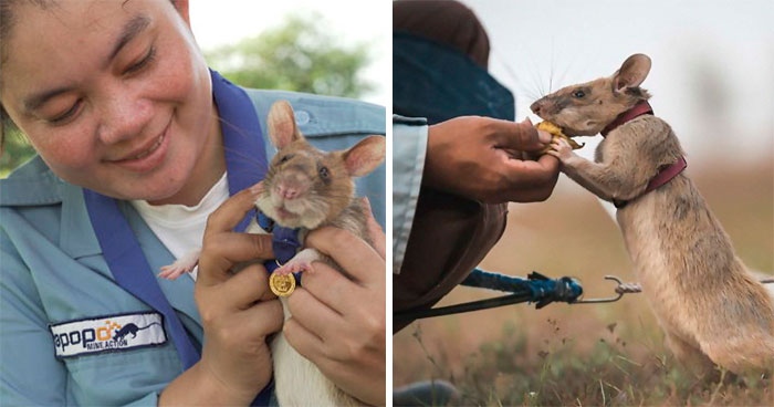 Meet Magawa, The Landmine-Detecting Rat Who Just Received The PSDA Gold Medal For Exceptional Bravery
