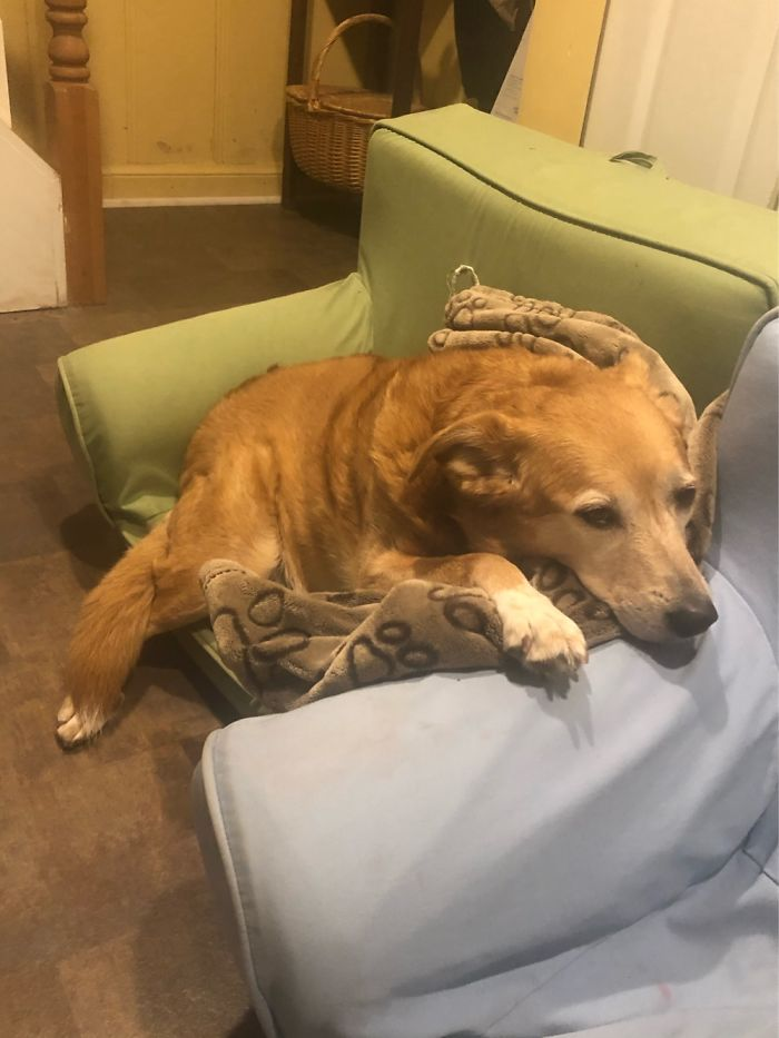 Shelby Is A 7 Year Old, Mostly Golden Retriever Baby Who Loves To Steal Other People's Seats