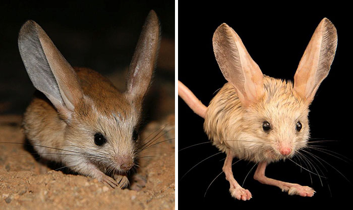 This Tiny Animal Looks Like A Mix Between A Mouse, A Rabbit, A Pig, And A Kangaroo And It's Absolutely Adorable