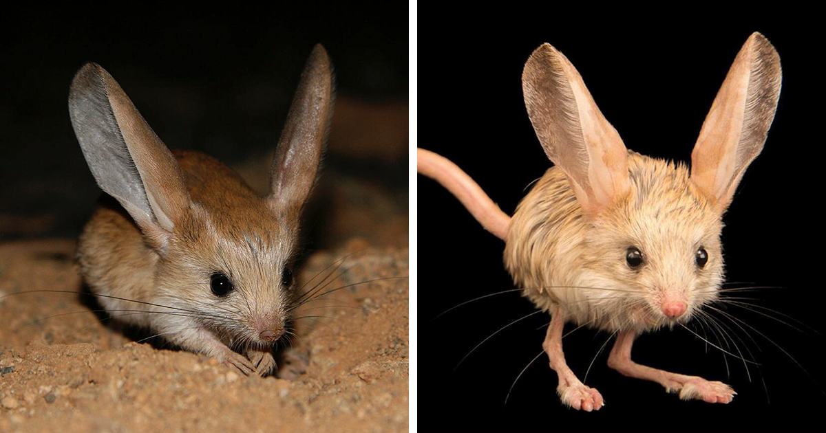 This Adorable Pokemon-Like Animal Looks Like A Mix Between A Mouse, A Rabbit, A Pig, And A Kangaroo - bored panda
