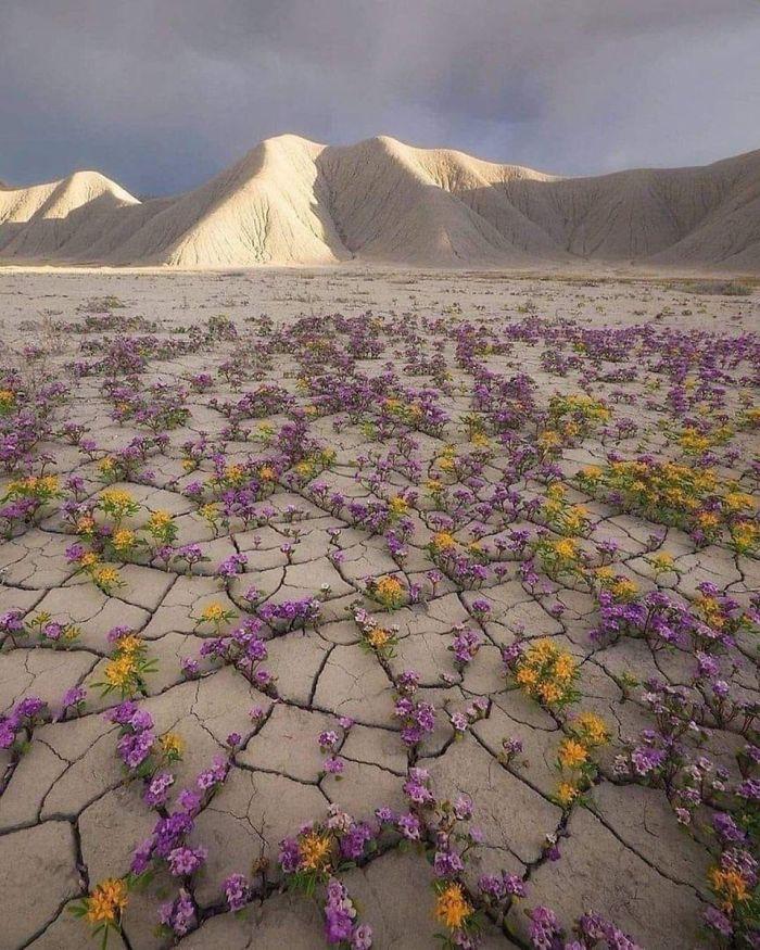 Flores en medio del desierto de Atacama en Chile