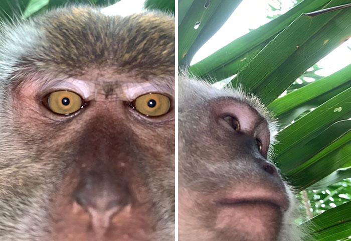 Monkey Steals Guy's Phone, 'Takes' A Bunch Of Selfies, Also Manages To Get One 'Artistic' Shot