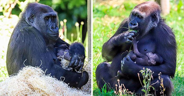 Mum Gorilla Who Lost Her Firstborn 1 Year Ago Gets Captured Cradling Her Month-Old Baby