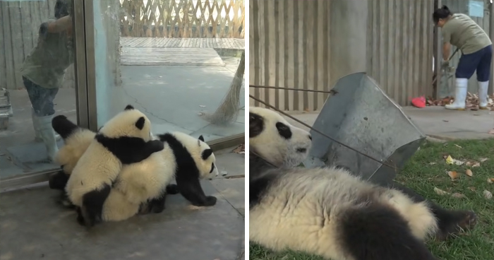 This Zookeeper Is Trying To Rake Leaves, But 2 Panda Cubs Have Other Ideas
