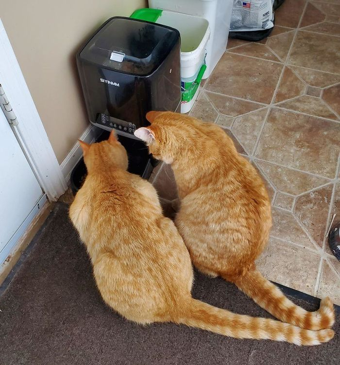 My Cat Sam Eating, His Friend Robyn From Next Door, Patiently Waiting His Turn