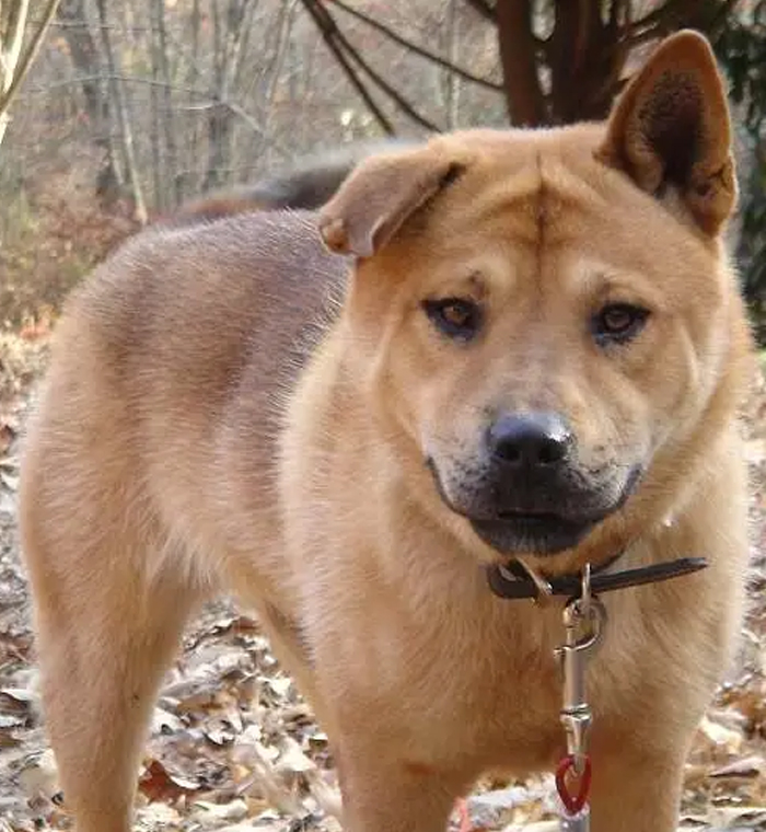Pit Bull + Chow Chow