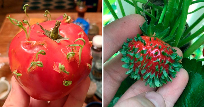 30 Times People Encountered 'Vivipary' In Plants And Just Had To Share These Terrifying Pics