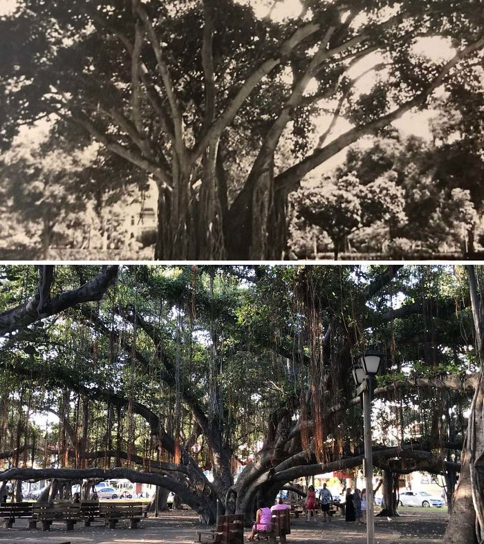 The Banyan Tree In Maui. Top Photo Taken By My Grandfather While He Was Stationed There During Wwii. Bottom I Took Without Knowing His Photo Existed