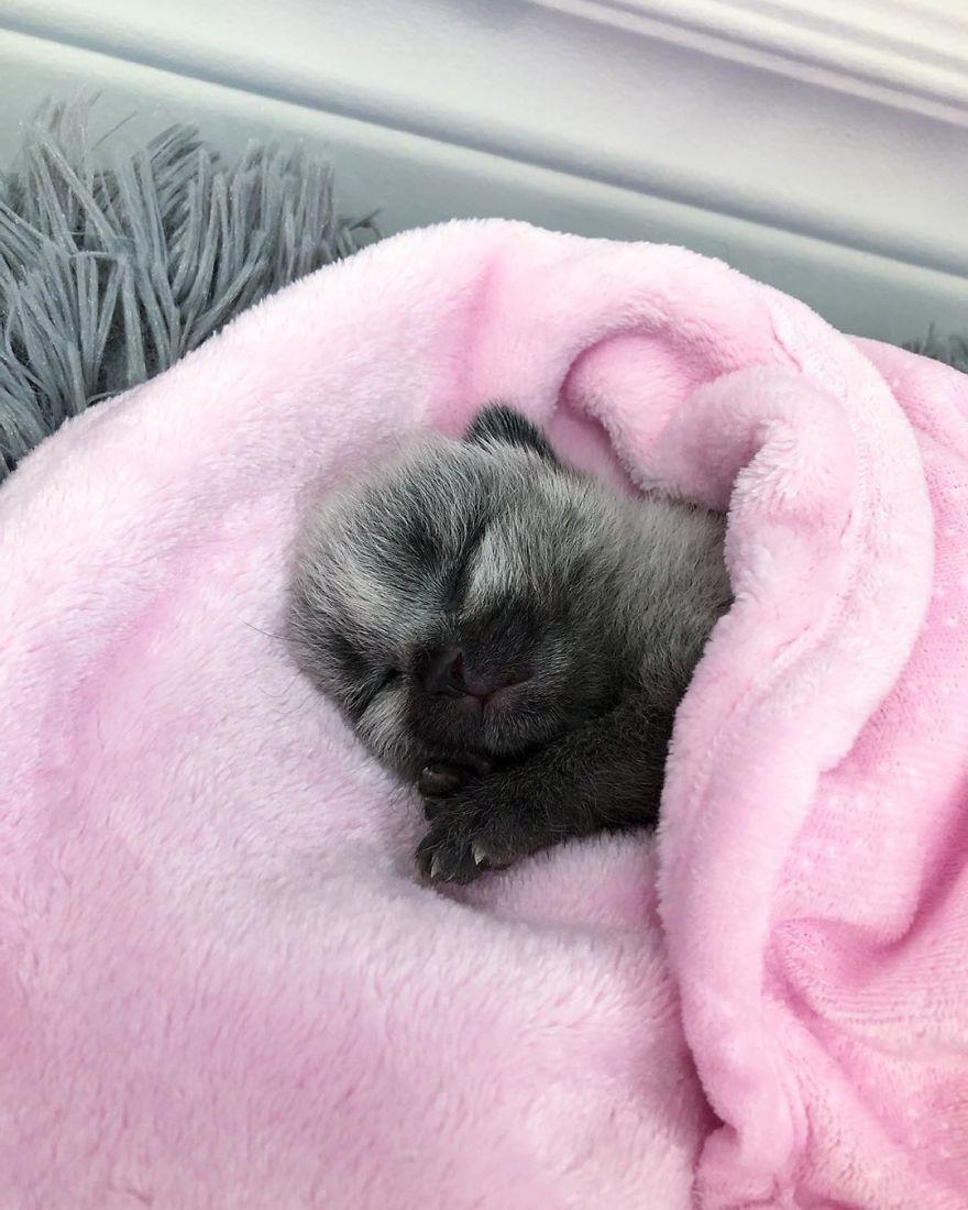 Rescued-Kitten-Silver-Fur-Coat