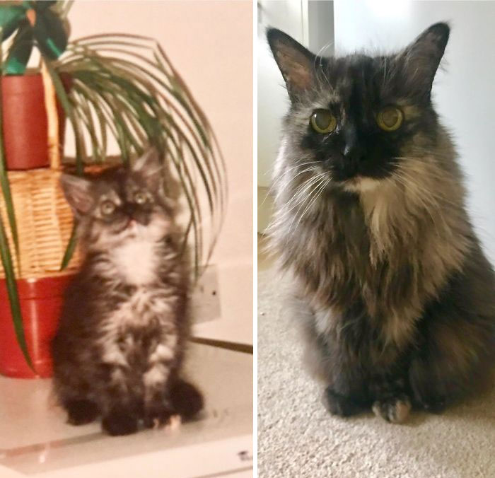 My Cat Is Now 20 Years Old. Here Is A Pic Of Her As A Kitten (Around A Few Months Old) And Now. She Has Always Been Tiny For Her Age!