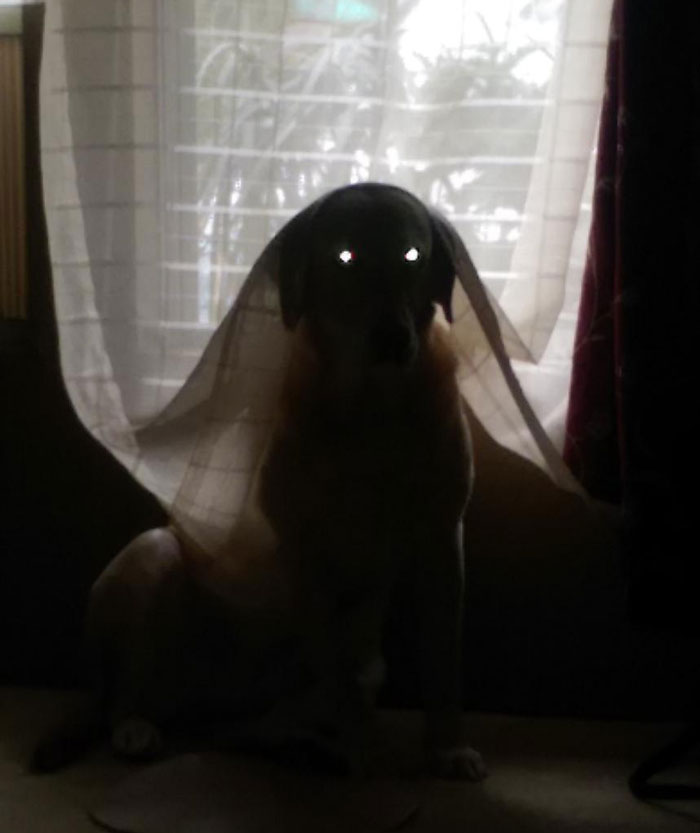 I Caught My Mom's Dog Playing In Her Curtains And Thought It Would Make A Cute Picture. The Result Was Nightmare Fuel