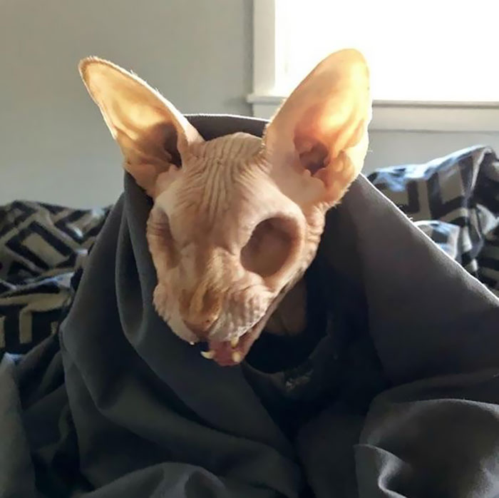 Sphynx Cat With No Eyes