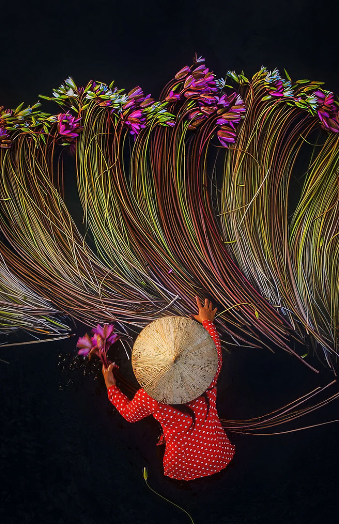 Vietnam-Mekong-Delta-Lilies-Harvest-Trung-Huy-Pham