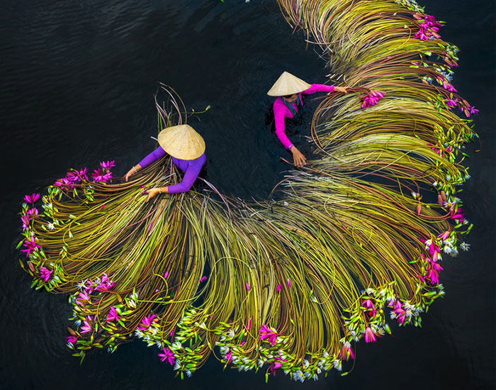 16 Breathtaking Photos Of Farmers Harvesting Waterlilies From The Mekong Delta