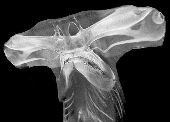 X-Ray Of A Hammerhead Shark