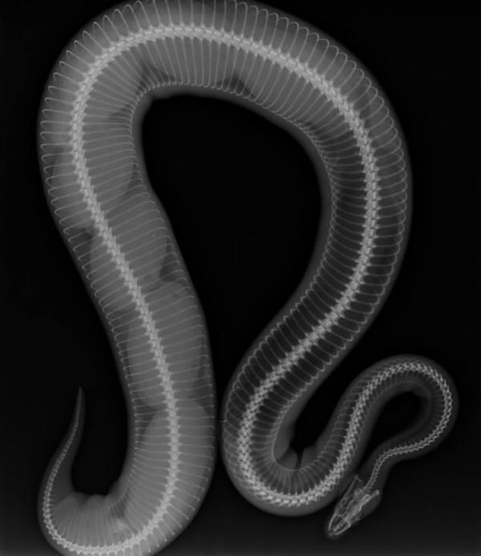 Gravid Ball Python X-Ray