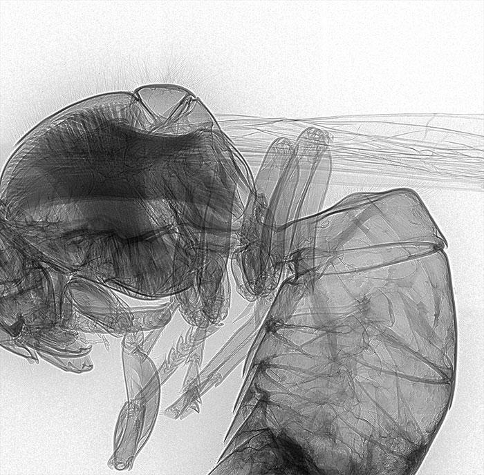 Wasp X-Ray