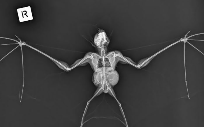An X-Ray Of A Ghost Bat