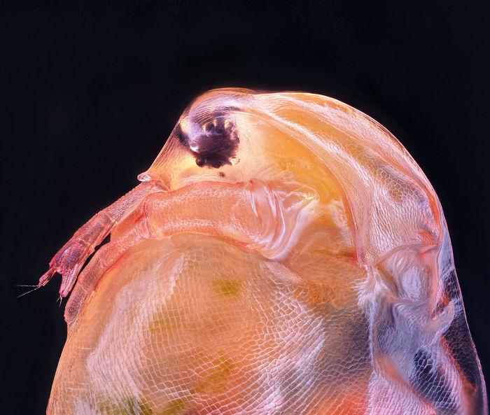 Daphnia magna (Phyllopoda)