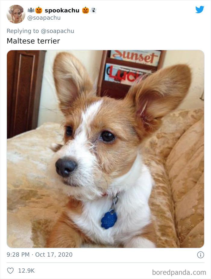 Terrier Maltés