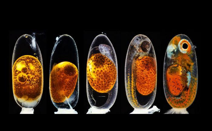 Embryonic development of a clownfish