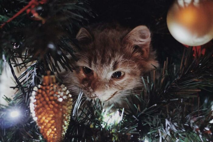 My Cat Likes To Destroy Our Christmas Tree Every Year, But At Least He Looks Cute While Doing It?