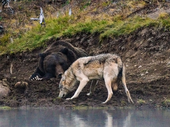 Photographer Captures A Once In A Lifetime Moment Of A Grizzly And Wolf Encounter