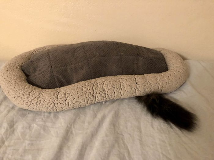 My Cat Has Never Quite Figured Out How His Bed Is Supposed To Work
