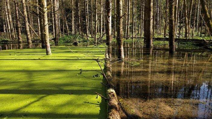 A Single Fallen Tree Holding Back The Duckweed In The Wetlands Of Louisiana