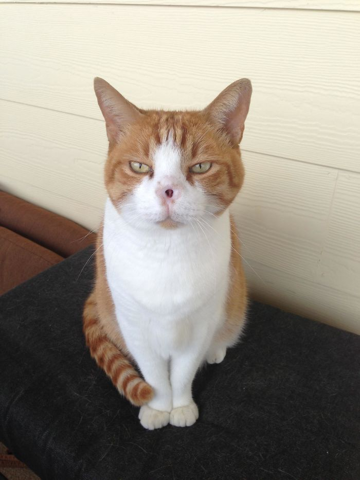 My Parent's Cat Prince Lost His Nose A Few Years Ago To Skin Cancer And I Think He Looks A Bit Like Voldemort Now, And Has A Similar Attitude