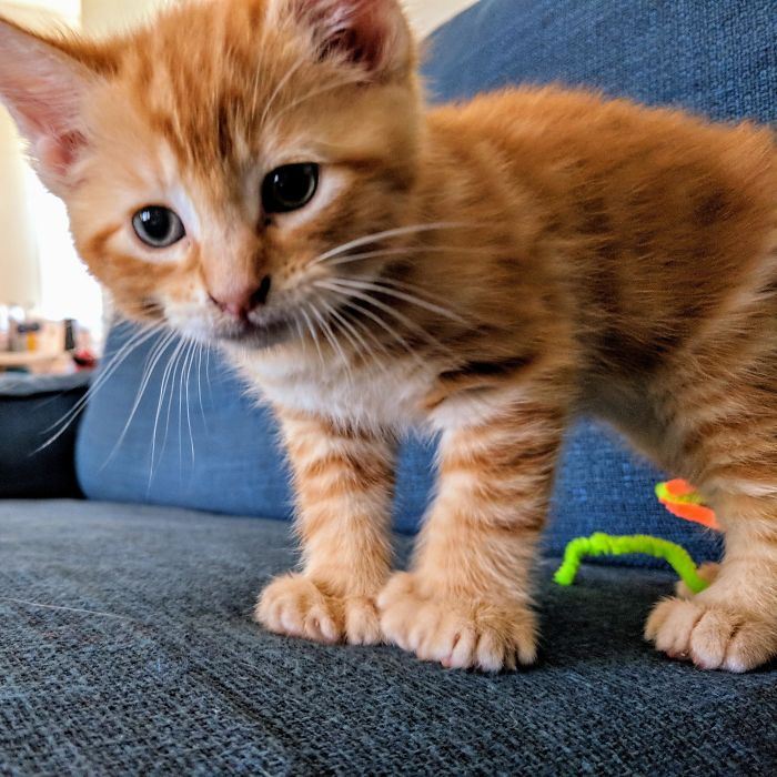 Our Little Ginger Polydactyl Kitten