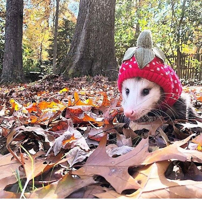 The Opossum Is North America's Only Marsupial, They Can Eat 5000 Ticks A Year And Are Almost Immune To Rabies! Their Body Temperature Is Too Low For The Virus To Survive!