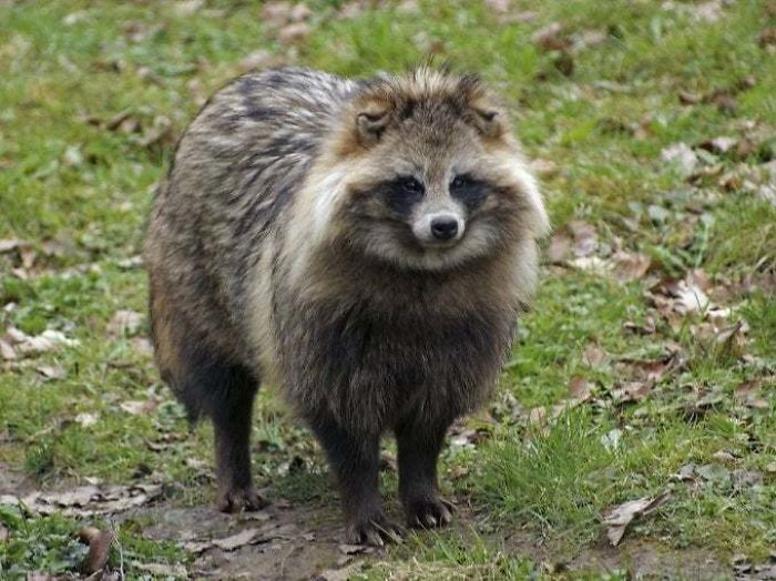 This Is The Raccoon Dog, The Only Extant Species In The Genus Nyctereutes. It's A Close Relative Of True Foxes And The Only Canid Known To Hibernate During The Winter