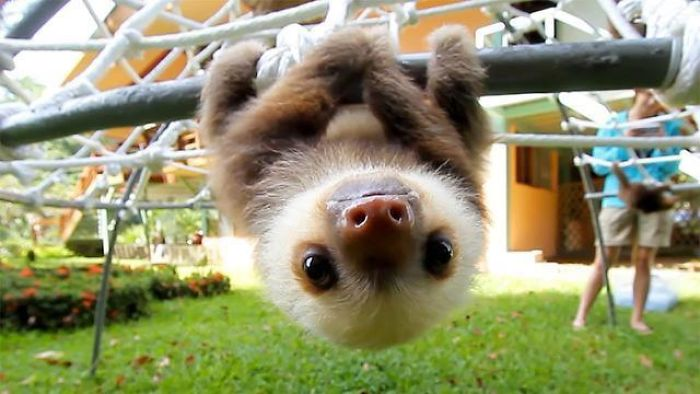 A Sloth's Claws Work The Opposite Way That Human Hand Does. The Default Position Is A Tight Strong Grip, And Sloths Must Exert Effort To Open Them Up. This Is Why Sloths Don't Fall Out Of Trees When They're Asleep