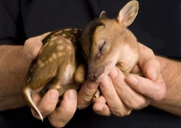 "A Newborn Chinese Water Deer Is So Small It Can Almost Be Held In The Palm Of The Hand. When It Matures, Instead Of Growing Antlers, They Grow Long Upper Canine Teeth Gaining Them The Name ""Vampire Deer"""