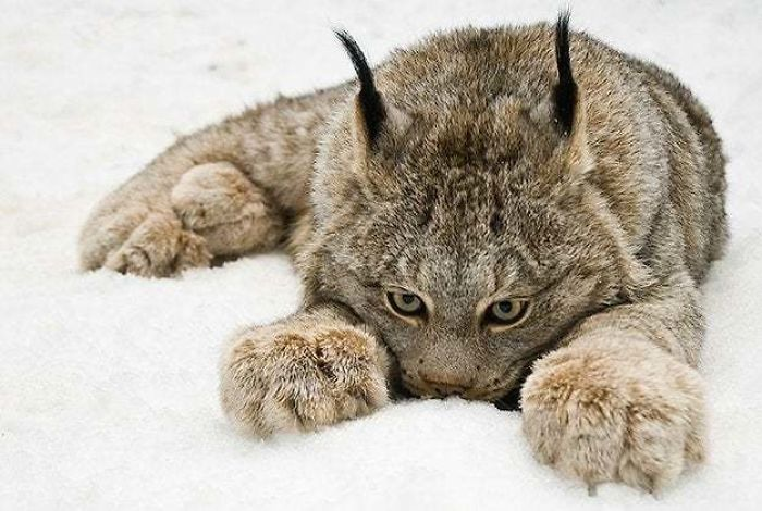Lynx Have Evolved Enormous Paws To Distribute Weight Better In Snow, Acting Like Natural Snowshoes