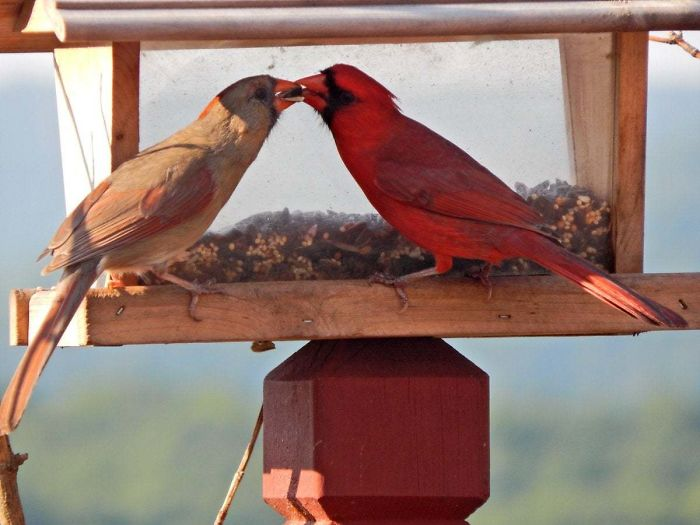 The Northern Cardinal Is Probably The Most 'Romantic' Bird Species: They Mate For Life, Travel Together, Sing Before Nesting, And During Courtship, Feed Seed Beak-To-Beak