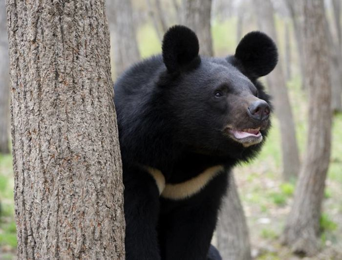 The Asiatic Black Bear Has The Largest Ears Of Any Bear Species