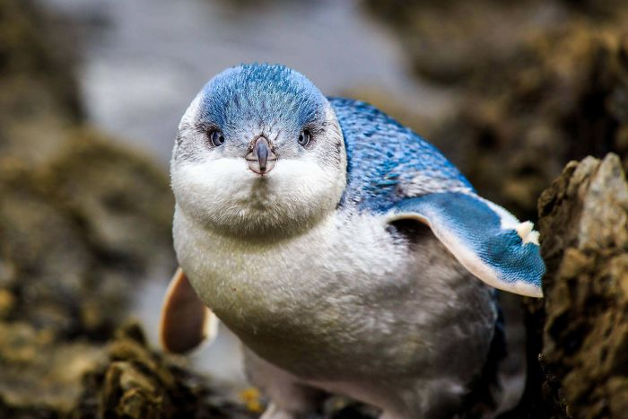 Blue Penguins Are The Smallest Type Of Penguin. Adults Reach Only 12-13in Tall. Owing To Their Small Size And Bright Color They Are Often Called Fairy Penguins
