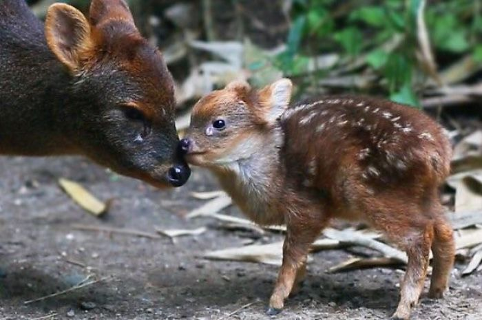 The Pudú Deer Is The Smallest Species Of Deer Standing At 15 Inches Tall On Average