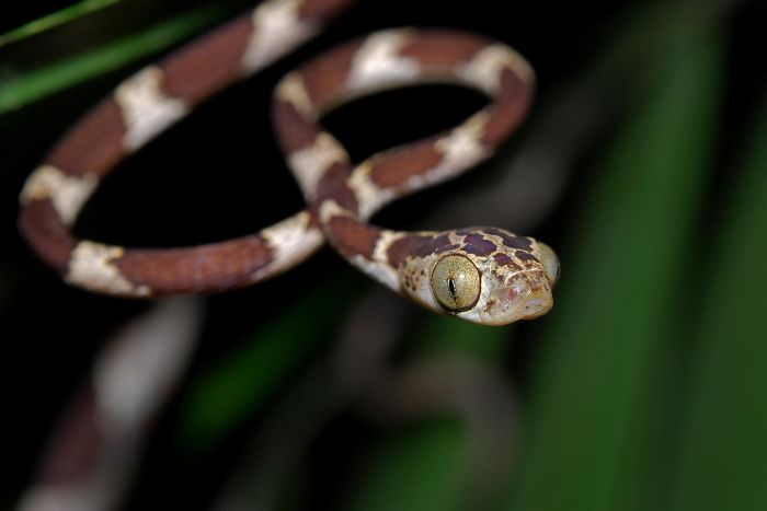 The Eyes Of The Blunthead Tree Snake Make Up Approximately 26% Of Its Head