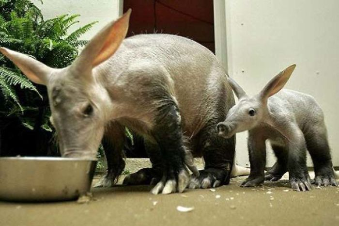 The Aardvark, Alphabetically The First Animal, Plays An Important Role In Preventing Wildlife Deaths From Fire. They Dig Large Underground Burrows That Wildlife Can Hide In During Fires