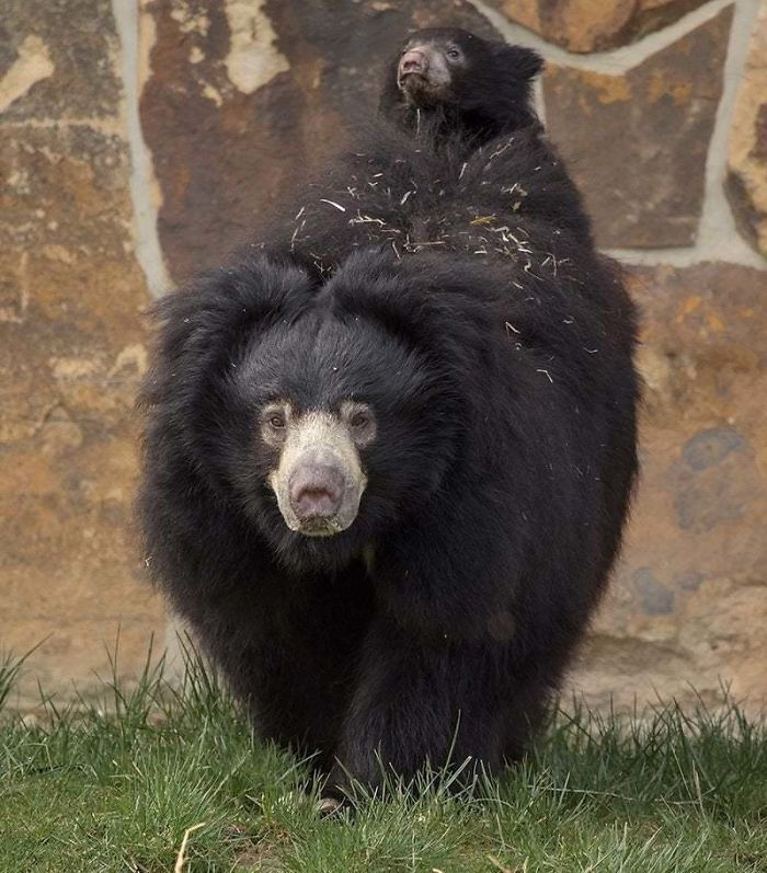 Native To India, Sloth Bears Are The Only Ursids Known To Carry Their Young For Extended Periods. Cubs Will Ride On Their Mother's Backs For Six To Seven Months After Leaving The Den