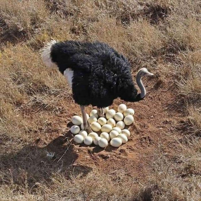 Male Ostriches Will Mate With 3 To 5 Hens That Will Lay Their Eggs In A Single Nest That The Male Digs Out. Every Night The Male Incubates The Eggs And During The Day The Dominate Female Will Incubate The Eggs, Which Take Around 40 Days To Hatch. The Male And The Females Will Help Raise The Chicks
