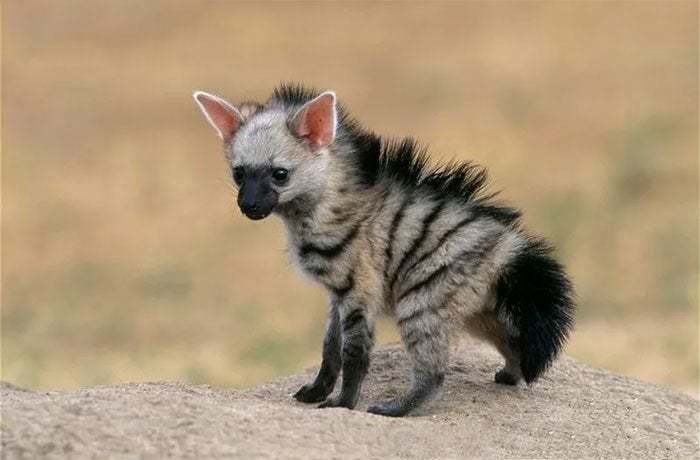 Aardwolves Are Shy And Nocturnal, Sleeping In Underground Burrows By Day. They Have Often Been Mistaken For Solitary Animals. In Fact, They Live As Monogamous Pairs With Their Young