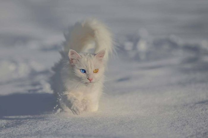 Van Kittens Are Initially Born With Pale Blue Eyes, Which Change To A Deeper Blue Or Amber As They Grow Older. Occasionally, You'll Also See A Van With One Amber Eye And One Blue Eye, Or Two Blue Eyes Of Different Hues