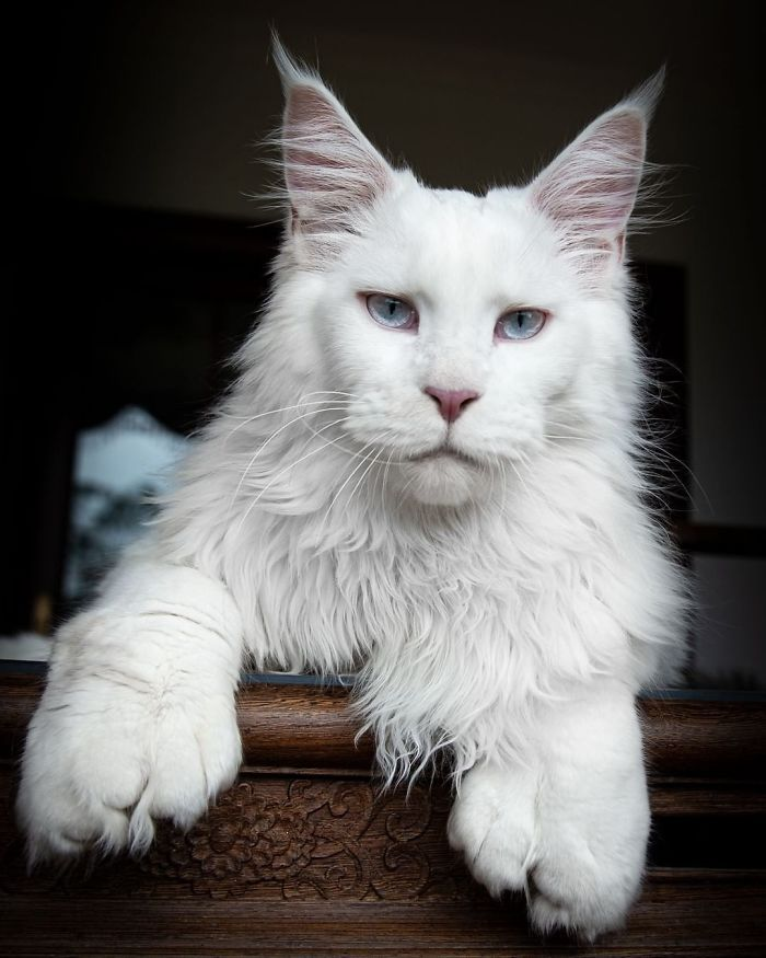 Polydactyl Maine Coon
