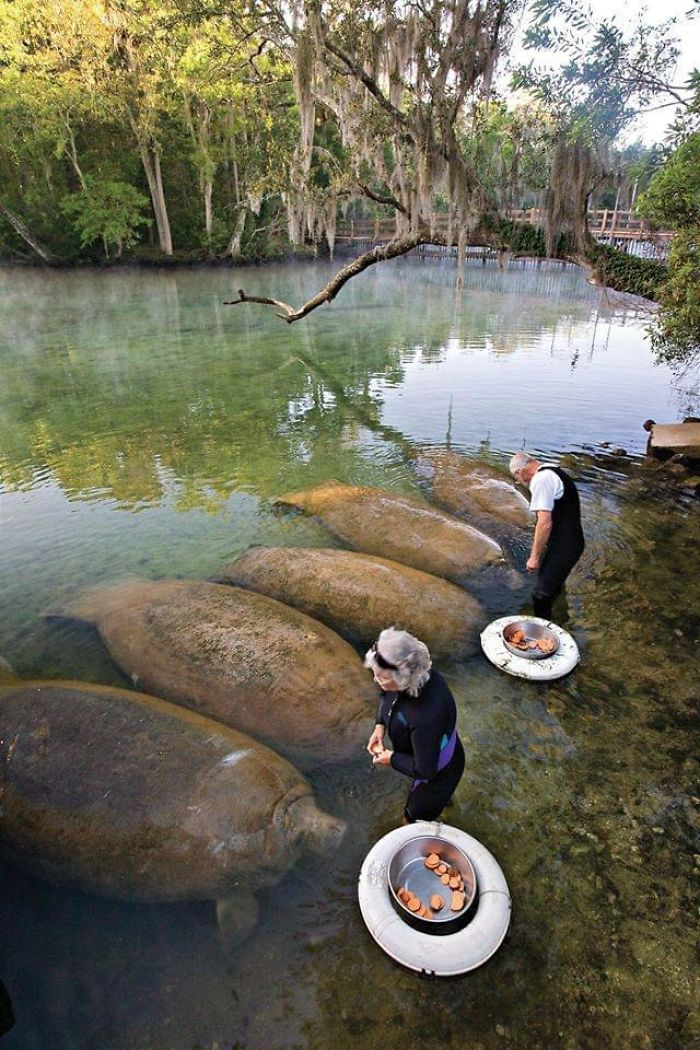 Manatees Being Fed Sweet Potatoes. While Looking Like Sweet Potatoes