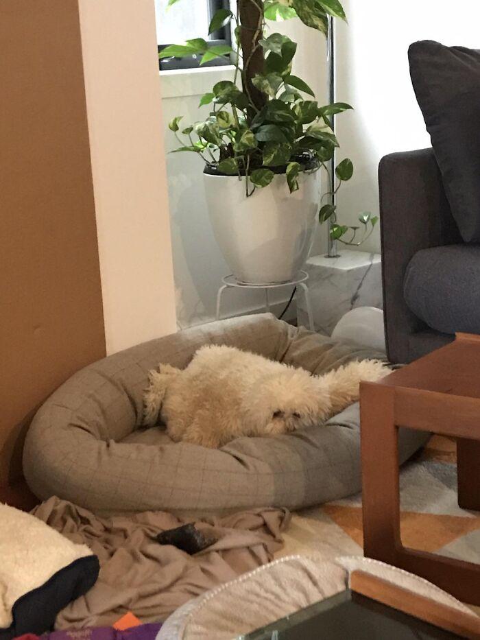La manta en la cama de mi perro parece otro perro